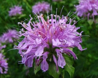 100  Heirloom Wild Bergamot (Monarda Fistulosa) Flower Seeds