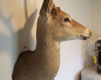 Vintage White Tail taxidermy mount