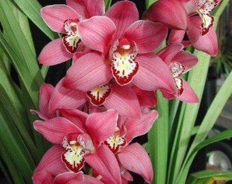 Cymbidium Maggie May orchid, large seedling, will have charming red blooms