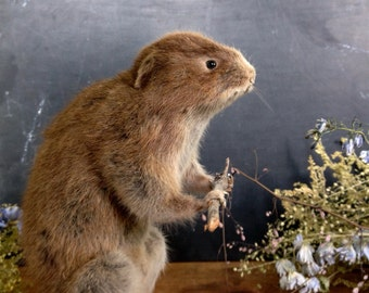 Vintage Taxidermy Mammal