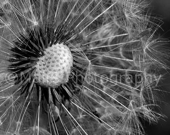 Macro Dandelion Seeds Abstract Nature Wildflower Black & White Delicate Oregon, Fine Art Photography, matted signed 5x7 Original Photograph