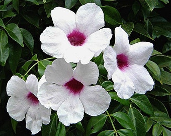 Pink Bower Vine, 10 seeds, Pandorea jasminoides, pink blooming vine, fragrant, lacy foliage, fast growing, easy zone 9-11, blooms all summer