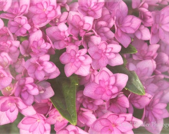 Double Bloom Pink Hydrangea,  Floral Photography, Photography, Nature Photography, Flower Photography, Botanical