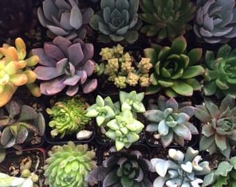 Succulent Plants 50 Plant Assortment