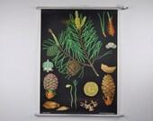 Vintage Pull Down School Chart. Pine Tree. Green. Botanical. Botany. Jung Koch Quentell. Germany. Classroom Wall Chart. 1066