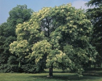 Flowering AshTree Seeds, Fraxinus ornus - 25 Seeds