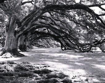 Louisiana photography, live oaks, oversize wall art, black and white photography, nature photography, louisiana decor, oak alley, antebellum