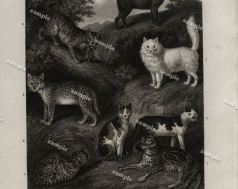 Quadrupeds Authentic  Natural History Engraving 1801 - Animals - Wild and domestic Cats -Large print-black and white-