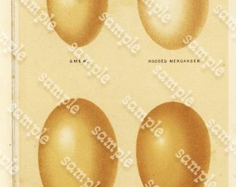 Original Antique Natural History Bird Eggs Great lithograph.  Smew. Hooded Merganser