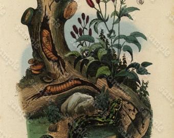 Antique Original  Natural History Hand Colored Engraving - Saperde - Sangnisorbe and Salamandre
