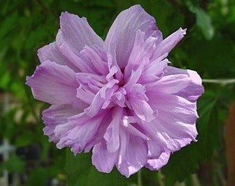 Collie Mullens  Rose of Sharon