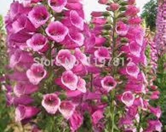 FOXGLOVE FLOWER SEEDS 100 fresh seed ready to plant in the garden