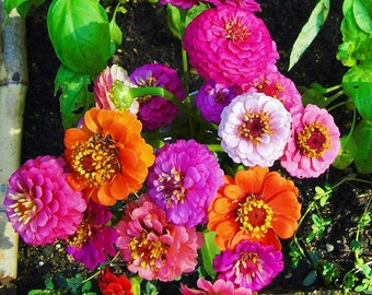 zinnia dwarf flower mix seeds,426, zinnia mini mixed, gardening, flower seeds, greek seeds, spring flowers seeds