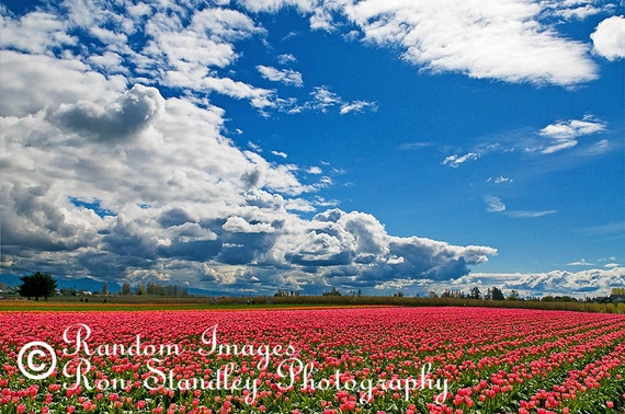 Tulip field nature photograph printable art