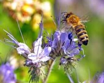 over 500 Seeds,Phacelia tanacetifolia, bees, beekeeping, Honey, bees, beekeeping, Honey