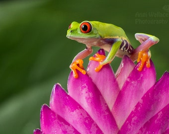 Red eyed tree frog on a tropical plant, large print