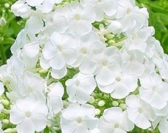 30+ Pure White Phlox / Highly Fragrant / Self-Seeding Annual Flower Seeds