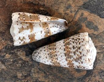 """Imperial Cone Seashell (2 pcs.) - (2-3"""") - Conus Imperialis"""