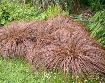 Carex comans bronze seeds