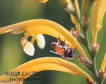 Bright Bee on Flower Fine Art Photograph Multiple Sizes With or Without Mat