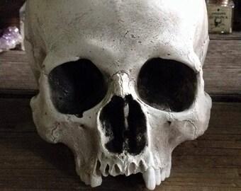 Reproduction human skull