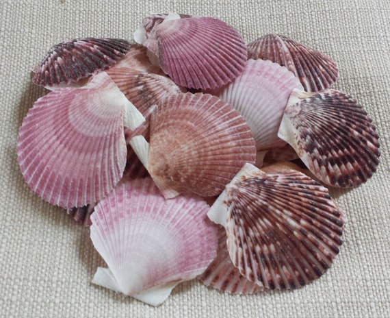 Small shells craft shells beach decor seashells shells for Tiny shells for crafts