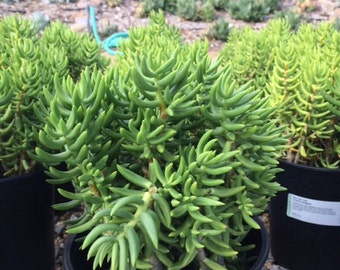 Mature Succulent Plant Mini Pine Tree. Beautiful, rich green coloring.