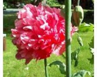 Turkish Bombast Rose Somniferum Poppy 200 Seeds