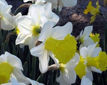 Holland Sensation Daffodil 5 Bulbs - 16/+ cm - Sunny Yellow & White