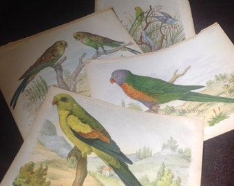 Set of 4 engravings with parrots and budgies
