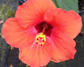 Hibiscus NAIROBI Tropical Plant Single Bright Orange Maroon Red Landscape Type. 4 Inch Pot