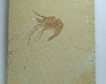 Fossil Shrimp, Carpopenaeus callirostris