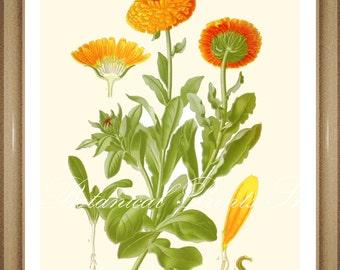 "Marigold Print #2. Calendula. Botanical Print.  Orange Flower Print.  5x7"", 8x10"" 11x14"", 13x19"""