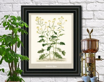 Black Mustard antique botanical print Vintage Black Mustard illustration Kitchen wall art  0433