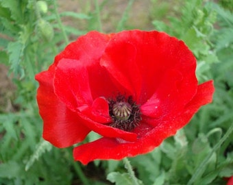Red Poppy Flower Seeds / Papaver/ Annual  100+