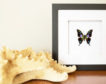 Real Purple Graphium weiskei Butterfly - Framed