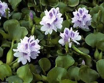 Water Hyacinth Eichhornia crassipes