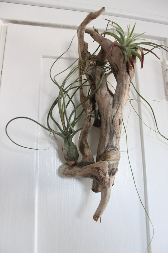 Drift roots and air plants living wall art with tillandsia for Air plant wall art