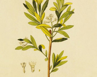 Daphne (Daphne Altaica) - reproduction of an old botanical illustration