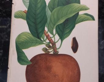 1889 Antique Botanical Fruit Print - Sapodilla Plum Chromolithograph