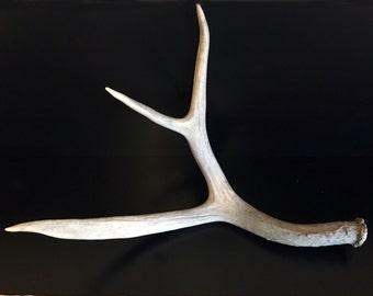 White 3 Point Mule Deer Antler Shed Horn - 303