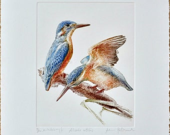 Common kingfisher (Alcedo atthis) - handmade copper-plate engraving print