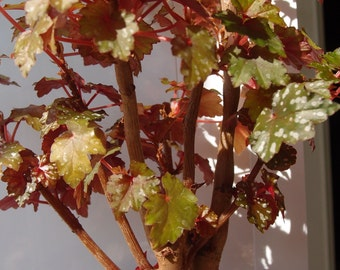 Begonia dregei big plant