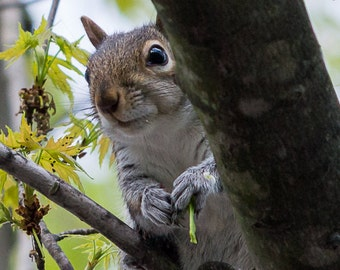 Squirrel Photography, Wildlife Photography, Nature Photography, In the trees photo