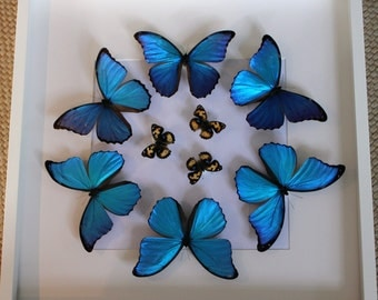 Large Exotic Butterfly Display: Morphos and Yellow Pansies