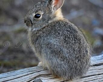 Baby Bunny on a Log Fine Art Photograph - Bunny Rabbit Photos - Baby Animal Prints - Kids Room Art