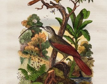 1838 Antique lovely print of birds, countryside flora and fauna, exoric birds, , original antique 179 years old