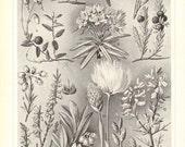 1910 Ericaceae, Lingonberry, Bog Bilberry, European Blueberry, Small Cranberry, Kinnikinnick, Cross-leaved Heath, Crowberry Vintage Print
