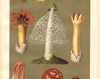 1904 Flowering Mushrooms, Stinkhorn Mushrooms, Netted Stinkhorn Fungus, Column Stinkhorn, Latticed Stinkhorn Antique Chromolithograph