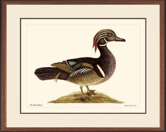 WOOD DUCK - Vintage Catesby bird print reproduction  97